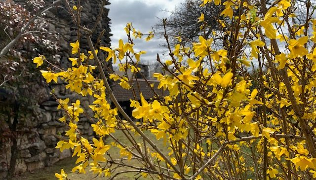 Bright yellow forsythia shrub next to a rock building